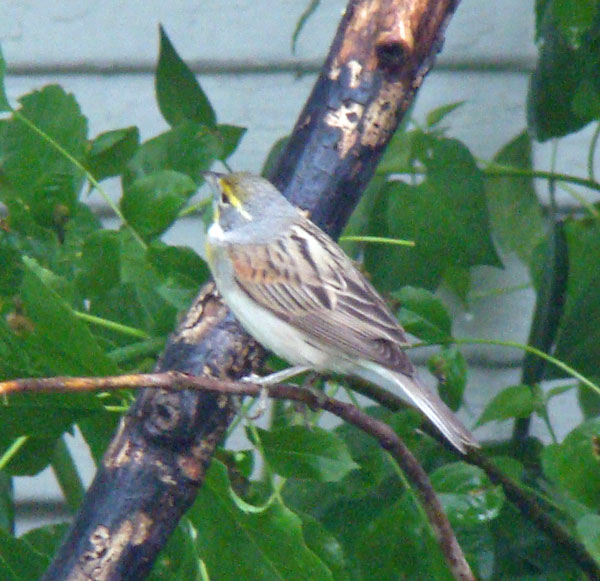 The Dickcissel back reminds me of a House Sparrow's back, but the yellow on the eye stripe and the gray coloring on its half-turned neck give it away.