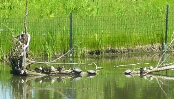The two-week-old Wood Duck babies were resting on a log beside some turtles.