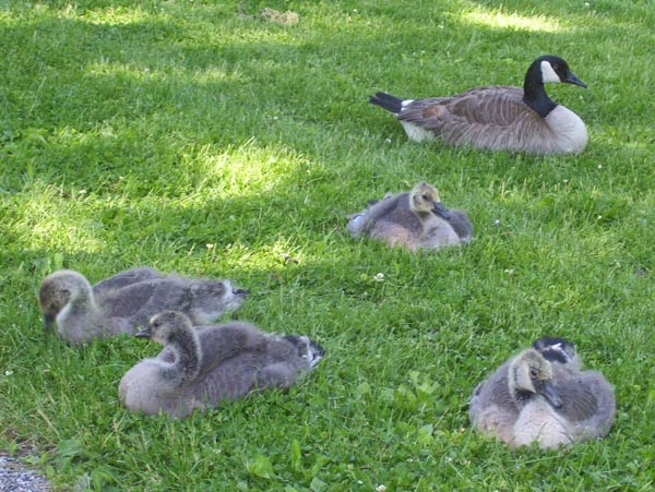 The young Canada Geese rarely stop feeding on grass. One parent kept an eye on me as the other chased off another goose.