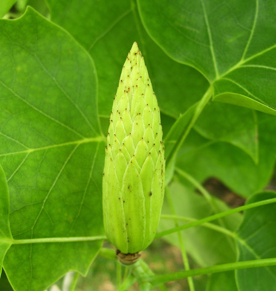 The outside of this Tulip Tree fruit shows the outlines of ripening seeds.