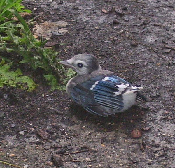 The gleam in the baby Blue Jay's eye is from my camera's flash (not because it's thinking up ways to annpy other birds or people).
