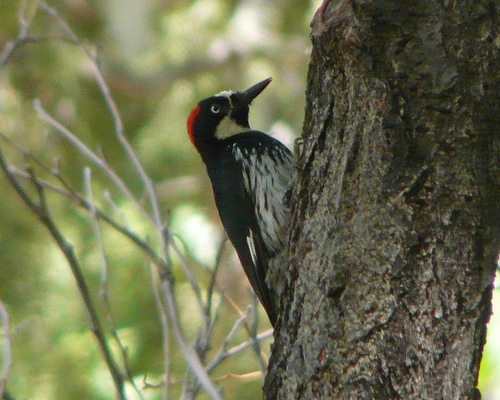 Acorn Woodpecker, Portal, Arizona. Photo by Ethan Gyllenhaal.