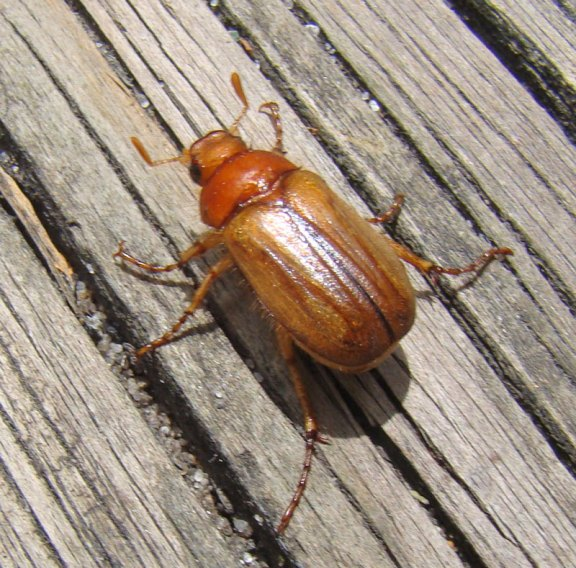 This June Beetle had fallen into a bucket of water. I found it, then Aaron took its photo. Photo by Aaron Gyllenhaal.