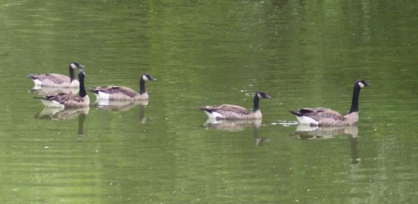 The three young Canada Geese in this photo are nine-and-a-half weeks old.