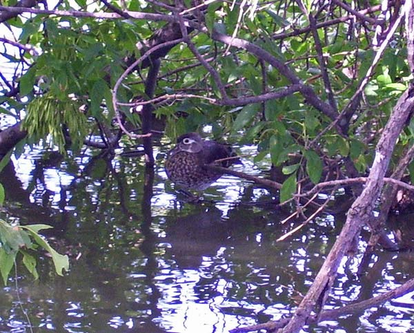 A mother Wood Duck watches me while five of her young hide in the leafy branches around here. The other four seem to have wandered off.