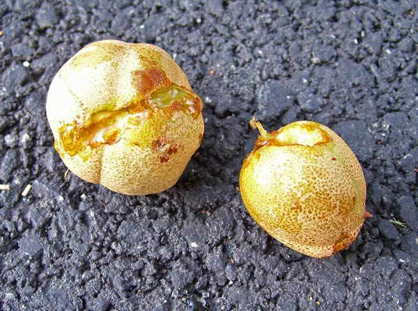 The Buckeye nuts are inside a leathery hunk. Squirrels had started chewing on them, but given up.