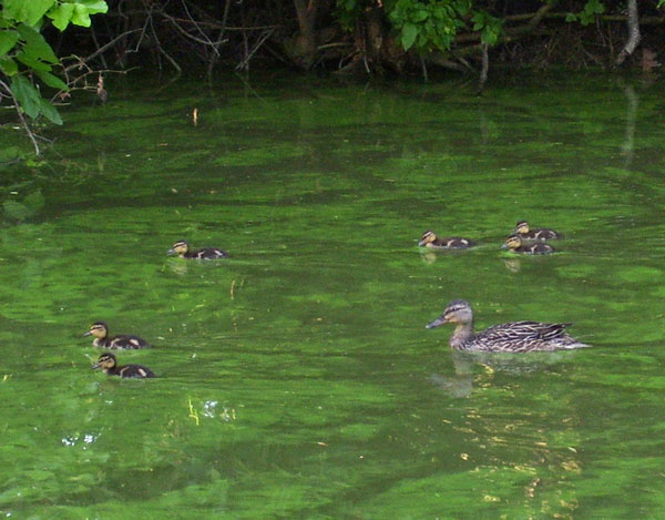 The mother Mallard led her brood to safety, but one duckling was already lagging behind.