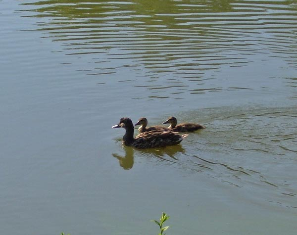 This Mallard family had two ducklings that were more than a week old.