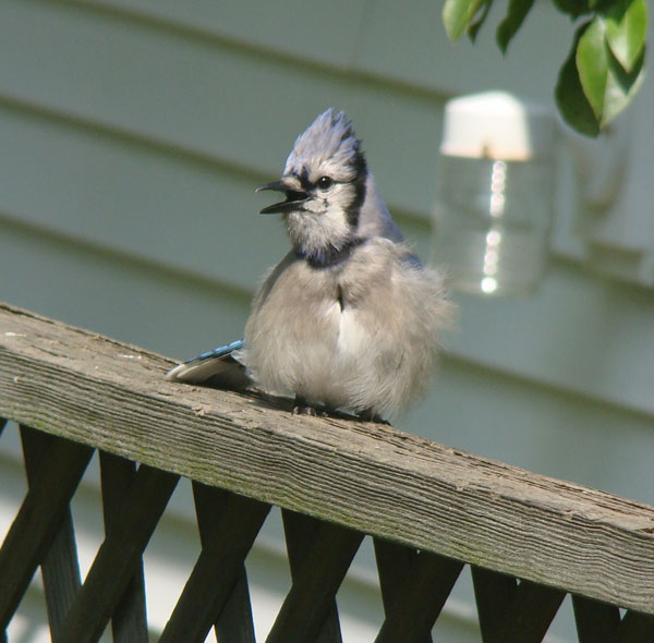 The young Blue Jay saw us watching it thorugh the back window, but it didn't fly away.