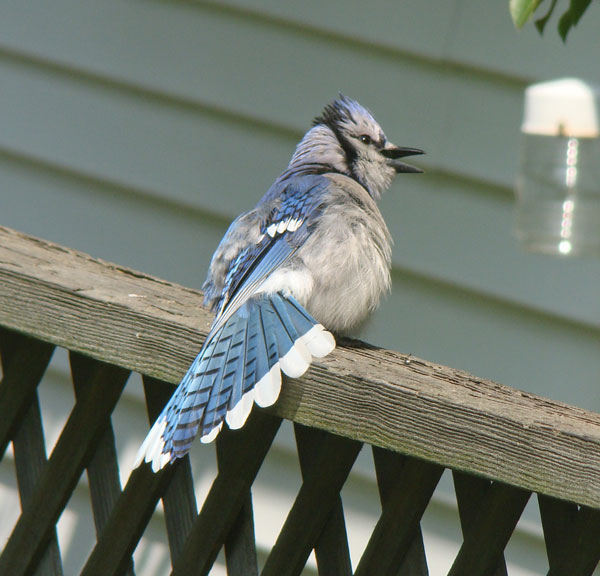 Instead, the young Blue Jay turned away and spread its tail. Photo by Aaron Gyllenhaal.