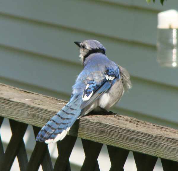A crowd gathered in our kitchen as all four family members came to watch. The young Blue Jay took notice. Photo by Aaron Gyllenhaal.