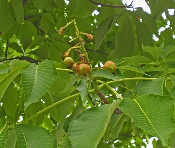 Developing Buckeye nuts, Oak Park, Illinois, June 18, 2009