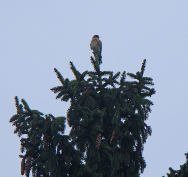 As soon as we saw the bird at the top of the spruce tree we could tell it was a Kestrel and not a Blue Jay. Kestrels are small falcons, and this bird had the classic falcon shape in silhouette.