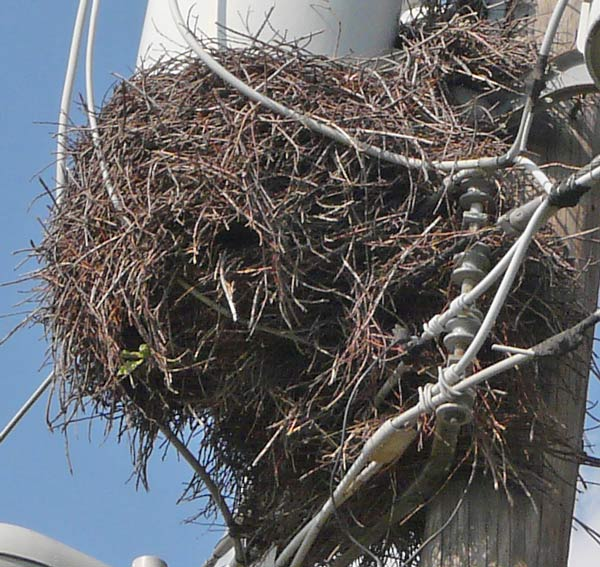 This closer view shows the openings through which the parakeets entered their nest. Photo by Ethan Gyllenhaal.