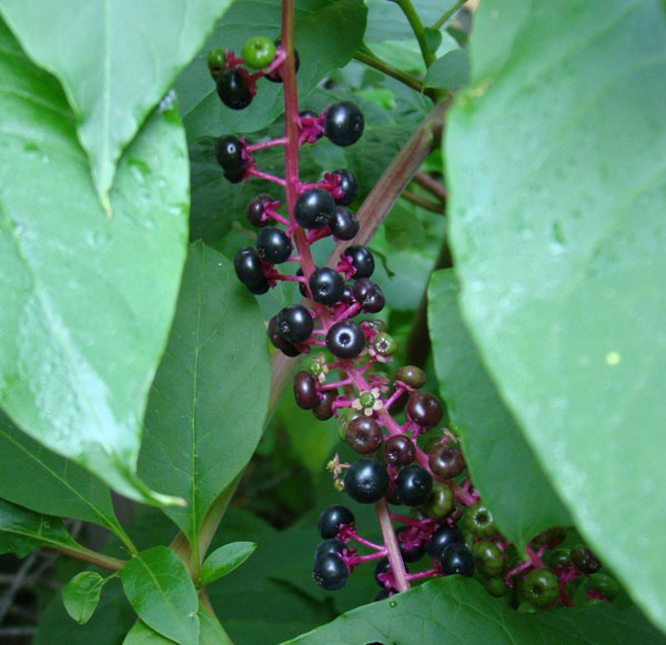 These are the first ripe Pokeweed berries I've seen this year, and they are in our backyard!