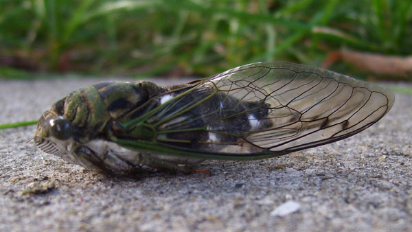 The dying Annual Cicada just lay there with its legs folded under its body.