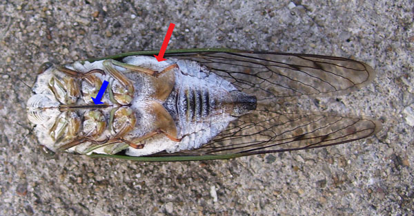 Underside of the Annual Cicada. The red arrow points to the visible part of the body that makes the buzzing sound. The blue arrow points to the tube its sometimes uses to suck plant juice (and occasionally jab a threatening animal -- or human).
