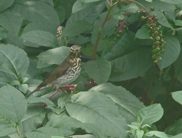 One of the three Swainson's Thrushes we saw on our backyard Pokeweed. Photo by Aaron Gyllenhaal (shot through a sunlit back window).
