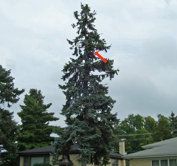 A red arrow points to the Monk Parakeet nest high in a spruce tree.