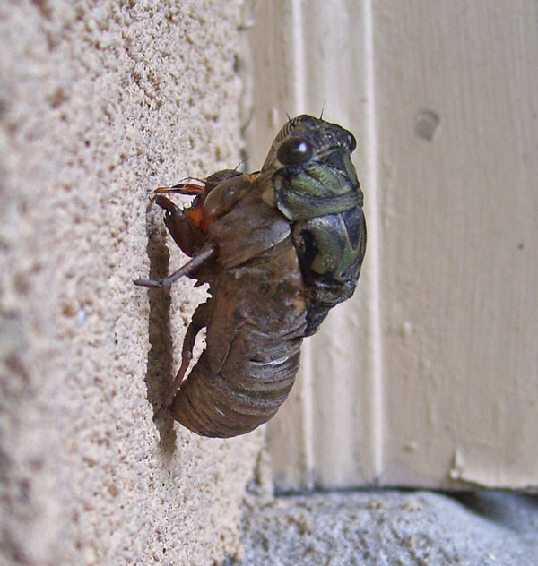 This nymph crawled out of the ground, climbed a wall, locked itself in place, and started to shed its skin -- but died before it could complete the transition to adult.