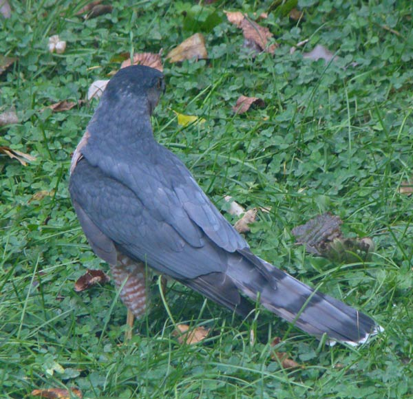 The hawk sat quietly on the grass before beginning to fly around the yard.