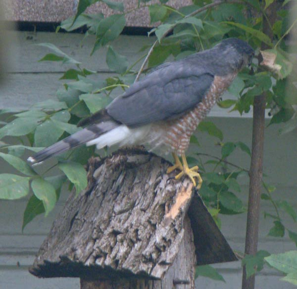 The hawk landed briefly on Uncle Will's birdhouse before taking off again.