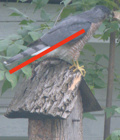 If the red bar is about 12 inches long, then how long is the hawk (from tip of tail to beak)?