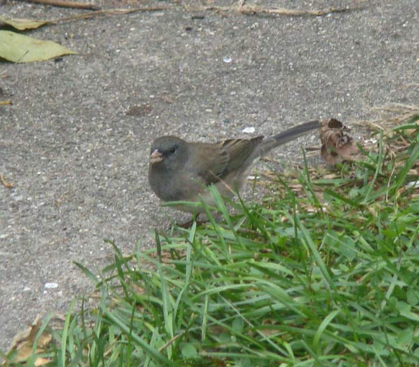 This is the first dark-eyed Junco we've seen in our yard since last spring!