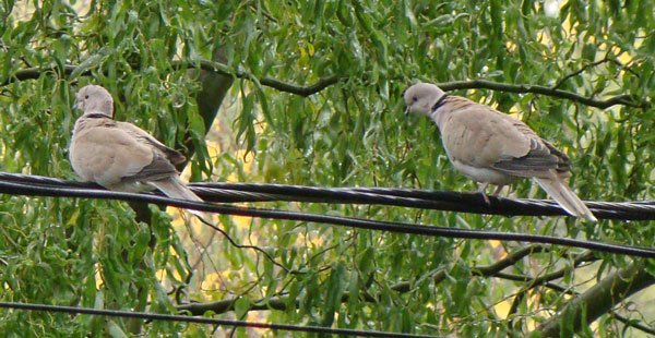 Here's a closer view of two of the doves.