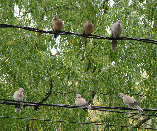Four Eurasian Collared-Doves on wires, with three smaller and draker Mourning Doves for comparison.