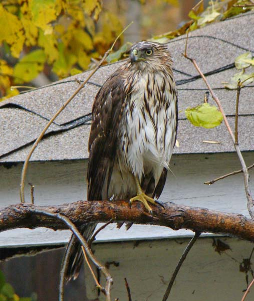 After all that rain, this young Cooper's Hawk was pretty soggy.