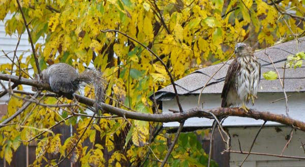 At first the Gray Squirrel did not seem to pay much attention to the young Cooper's Hawk.