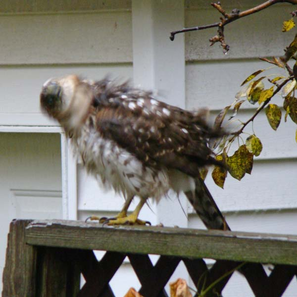 The young Cooper's Hawk shook its head, trying to shed some water.