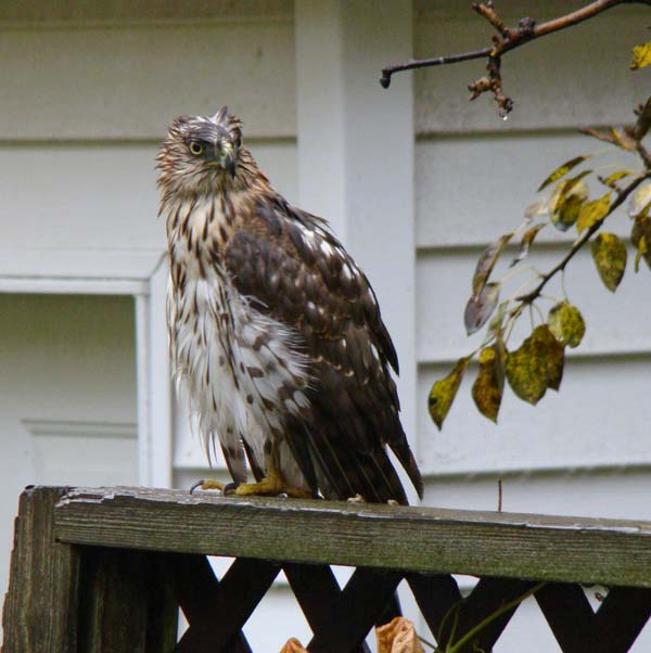 It didn't seem to do much good -- the hawk's feathers still looked pretty soggy.