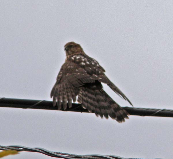 Later that afternoon the Cooper's Hawk was still drying its feathers, this time but spreading them in the breeze.