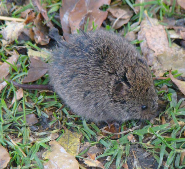 Who can deny that this vole is a cute, fuzzy little mammal?