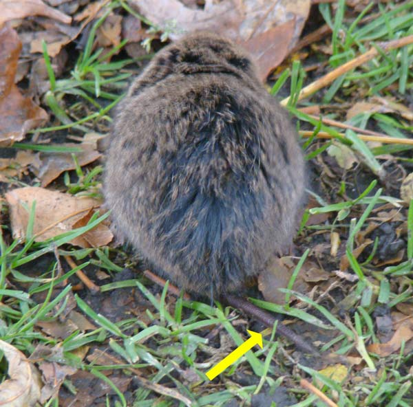 The tail is really short, which mean this vole is not on of those hated house mice!