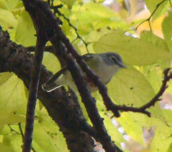 This view, with the Blue-headed Vireo further away, shows a bit more of the gray head.