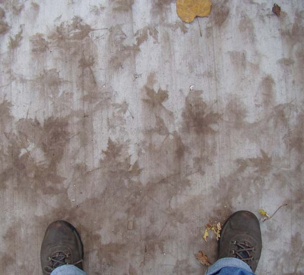 Lots of Maple leaf prints, Oak Park, Illinois, November 1, 2009.
