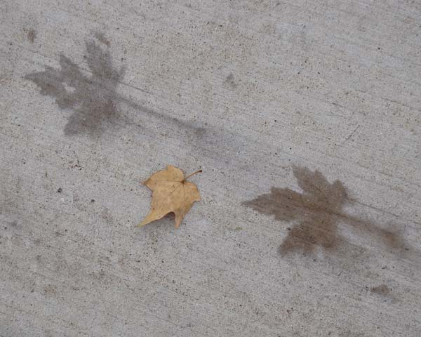 Natural leaf prints, Maple, Oak Park, Illinois, November 1, 2009.