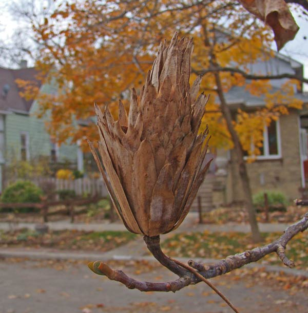 Tulip Tree seeds, Oak Park, Illinois, November 9, 2009.