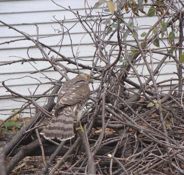 Cooper's Hawk in the brush pile, Oak Park, Illinois, November 16, 2009.