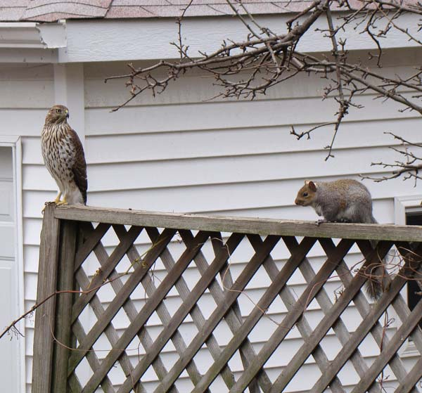 Cooper's Hawk facing off with Gray Squirrel, Oak Park, Illinois, November 16, 2009.