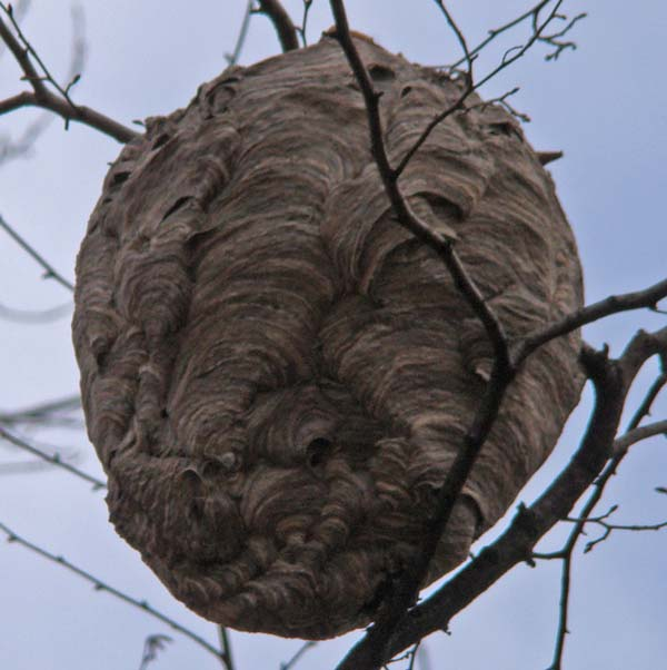 Hornet nest, Columbus Park, Chicago, Illinois, November 17, 2009.