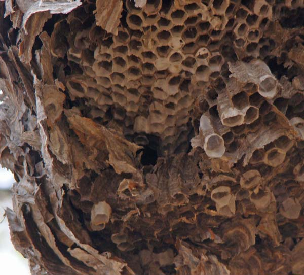 Inside of hornet nest, Columbus Park, Chicago, Illinois, November 17, 2009.