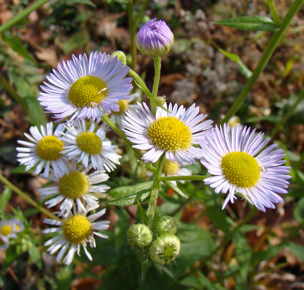 I'm guessing Daisy Fleabane, Columbus Park, Chicago, November 20, 2009.