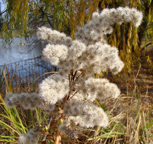 Gone-to-seed goldenrod, Columbus Park, Chicago, Illinois, November 20, 2009.