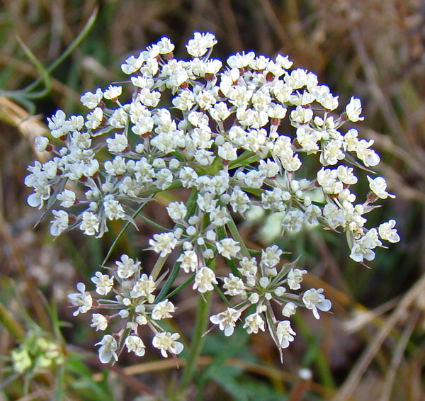 I think this one is Queen Anne's Lace, Columbus Park, Chicago, November 20, 2009.