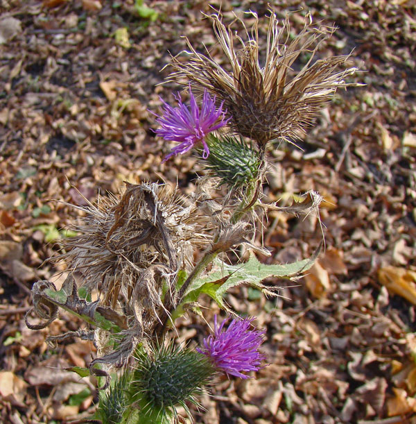 Thistle flowers, Columbus Park, Chicago, Illinois, November 20, 2009.