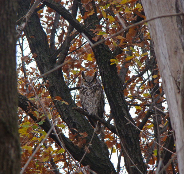 Great Horned Owl, Columbus Park, Chicago, Illinois, November 24, 2009.